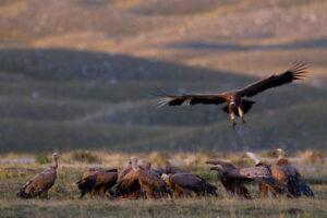 Griffon vultures (Gyps fulvus) feeding on carcass on mountain plateau. Abruzzo, Central Apennines, Italy. Sep 2012