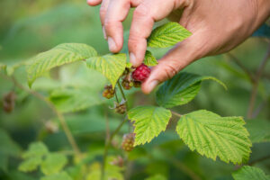 Picking wild raspberry (Rubus idaeus) in forest meadow. Central Apennines, August 2014